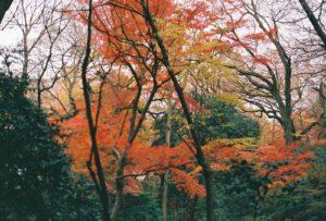 Mùa lá đỏ ở Nhật Bản đẹp rực rõ