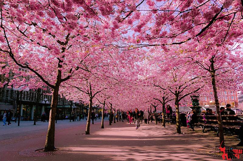 Du lịch Nhật Bản mùa hoa Đào