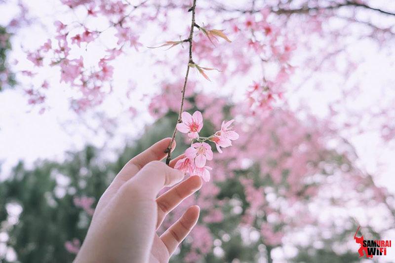 Nét đẹp tinh khôi hoa đào
