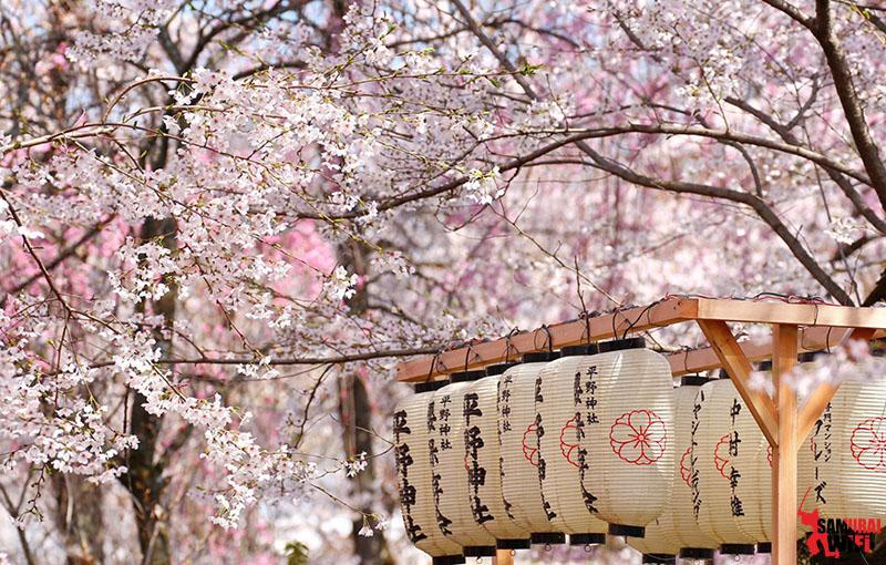 Thuê wifi samurai du lịch mùa hoa anh Đào